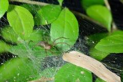 Pająk pajęczyna na liściu zdjęcie stock