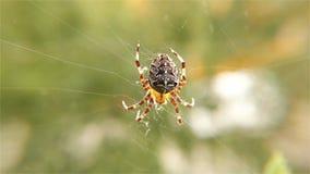 Pająk pracuje na jej sieci †'pająk z pająka siecią - Europejski Ogrodowy pająk, Zamyka up, szczegół zdjęcie wideo