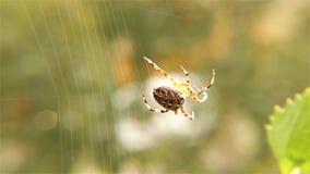 Pająk pracuje na jej sieci †'pająk z pająka siecią - Europejski Ogrodowy pająk, Zamyka up, szczegół zbiory
