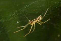 pająk przędąc sieć obrazy royalty free