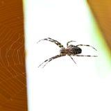 Pająk przy pajęczyną zdjęcia stock