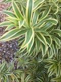Pająk roślina Obraz Royalty Free