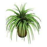 Pająk roślina na bielu Obraz Stock