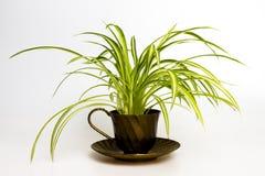 Pająk roślina w retro herbacianej filiżance Zdjęcia Stock