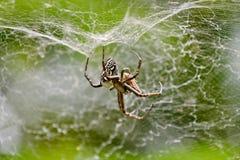 pająk schwytania, obraz royalty free
