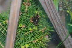 Pająk sieć na krzaku zielony drzewo Fotografia Stock