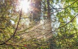 Pająk sieć wyplatająca na gałąź drzewo w lesie przeciw słońcu obraz royalty free