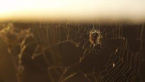Pająk sieci pajęczyna na zmierzchu insekta stylu życia insekta varicoloured tle pająk tropi natury pojęcie zbiory wideo