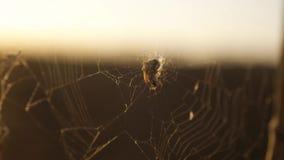Pająk sieci pajęczyna na zmierzchu insekta insekta varicoloured tle pająka styl życia tropi natury pojęcie zdjęcie wideo