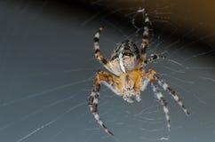 Pająk siedzi na pajęczynie w oczekiwaniu na ofiarę zdjęcie royalty free