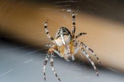 Pająk siedzi na pajęczynie w oczekiwaniu na ofiarę fotografia stock