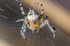 Pająk siedzi na pajęczynie w oczekiwaniu na ofiarę fotografia royalty free