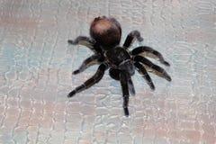 Pająk tarantula kędzierzawa Obrazy Royalty Free