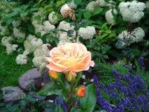 Pająk w brzoskwini wzrastał Fotografia Stock