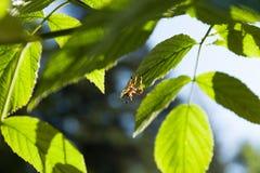 Pająk w liściach, makro- Zwierzęcy pajęczak obraz royalty free