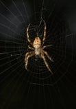 Pająk w pajęczynie obrazy stock
