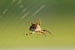 pająk wiruje sieć Obraz Stock