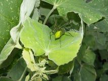 pająk zielone obrazy royalty free
