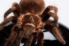 pająka gigant drewno obrazy royalty free