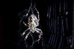 Pająka i pająka ` s sieć na czarnym tle Pajęczak wspina się sieć Ekstremum zamknięty up makro- wizerunek Fotografia Stock