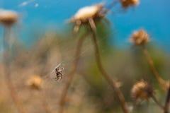 Pająka krzyż na sieci, pająk dzwonił Europejskiego ogrodowego pająka, Albania fotografia royalty free
