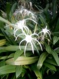 Pająka kwiat obraz stock