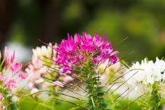 Pająka kwiat Fotografia Royalty Free