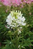 Pająka kwiat w kwiacie Zdjęcia Royalty Free