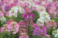 Pająka kwiat w kwiacie Obraz Royalty Free