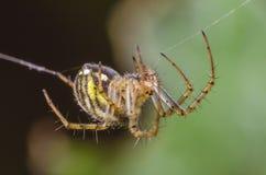 Pająka obwieszenie na pajęczynie na zielonym tle obrazy stock