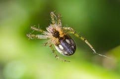 Pająka obwieszenie na pajęczynie na zielonym tle obrazy royalty free