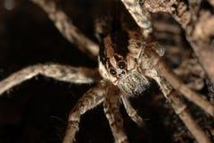 pająka wilk Zdjęcia Royalty Free