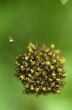 pająki ogrodowe Zdjęcia Royalty Free