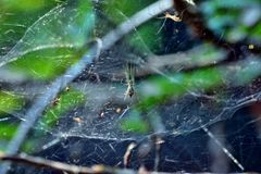 Pająki z pająka netto próbować łapać w pułapkę komarnicy fotografia royalty free