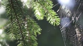 Pajęczyna i pająk w lesie w ranku przy świtem zdjęcie wideo