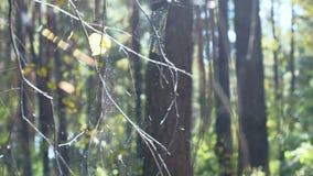 Pajęczyna na drzewach zbiory