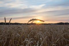Pajęczyna na pszenicznym jaśnieniu w słońcu Obrazy Stock