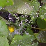 pajęczyna opuszcza łąki wodę Obraz Stock