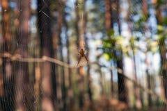 pajęczyna pająk zdjęcie stock