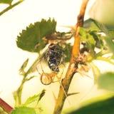 Pajęczyna pająka łasowanie Lata Zdjęcia Stock
