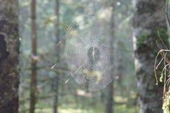 Pajęczyna w drewnach w środkowych szerokościach Zdjęcia Stock