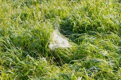Pajęczyna w trawie obraz royalty free