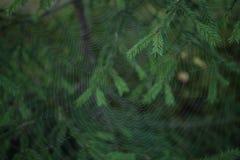 Pajęczyna wzór na jodle rozgałęzia się tło zdjęcia royalty free