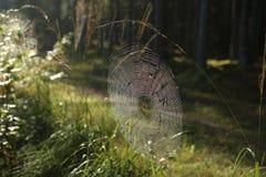 Pajęczyna z Przecinającym pająkiem na trawie zginał w lesie zdjęcia stock