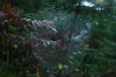 Pajęczyna z Przecinającym pająkiem w lesie fotografia royalty free