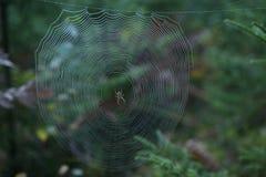 Pajęczyna z Przecinającym pająkiem w lesie obrazy royalty free