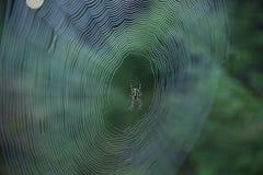Pajęczyna z Przecinającym pająkiem w lesie obraz stock