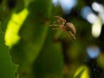 Pajęczynowaty insekta cobeb słońca świecenie zamazywał tło roślinność colorfully tropi netto oklepa dla insektów zdjęcia royalty free