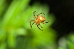 pajęczyny kobiety pająk Zdjęcie Royalty Free