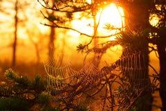 Pajęczyny przy zmierzchem w sosnowym lesie Fotografia Royalty Free
